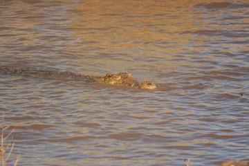 coccodrillo rettile predatore fiume savana africana
