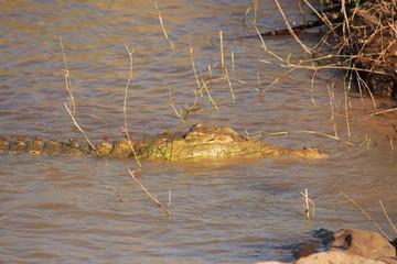 coccodrillo rettile predatore fiume savana