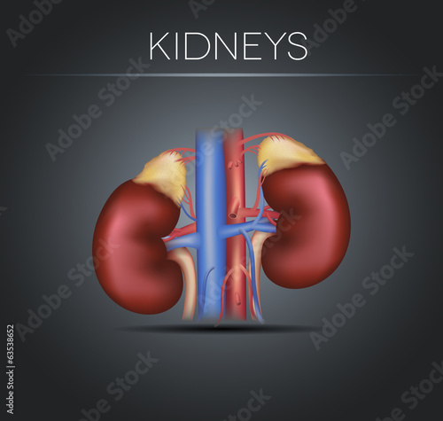Human kidneys on a black gradient background