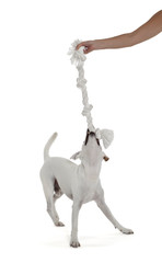 Jack Russell Terrier playing with biting rope by female hand