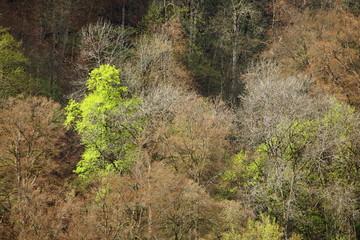 Frisches Laub im Frühjahr / hellgrün = Ahornbäume
