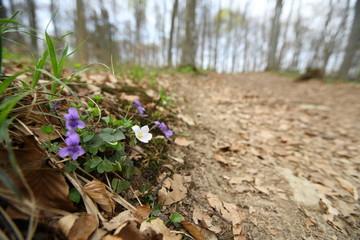 Veilchen am Wegesrand / Schwäb. Alb im  Frühjahr