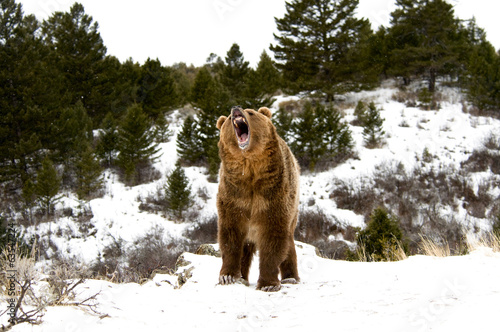 Papiers peints Ours Blanc Grizzly Bear