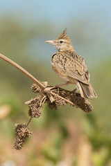 Crested Lark with its crest raised