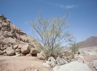 Desert ironwood tree growing between rocks