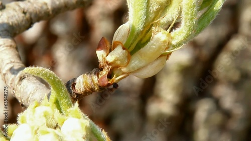 The detailed look at the bud of pear