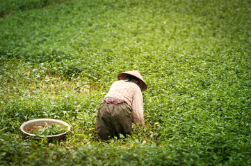 Person working on rice plantation in Vietnam.