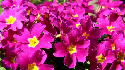The detailed look at flowers Polyanthus