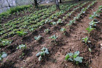 Sembrado de repollos y patatas, Sauceda, Hurdes, España