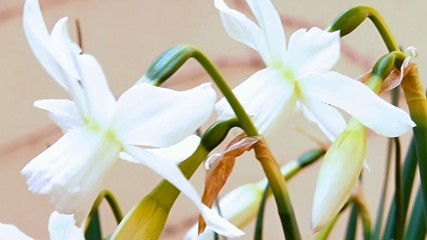 The detailed look at the flowers of Narcissus