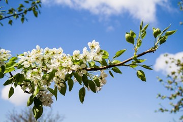 Blossoming branch against the blue sky