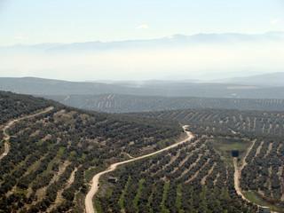 Campo de olivos y bruma