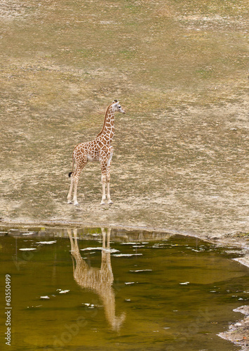 young giraffe standing on the shore of Lake