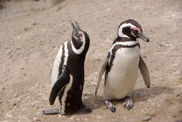 Manchots de Magellan, Patagonie