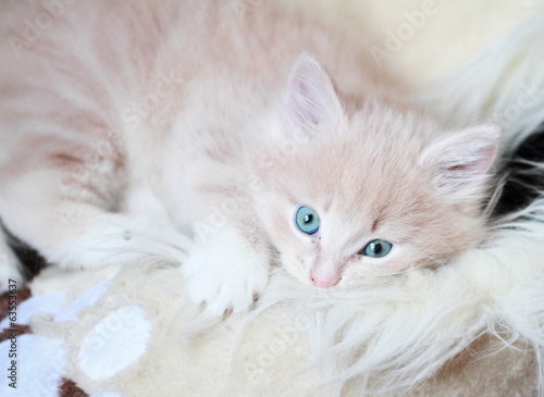cream puppy of siberian cat at one month