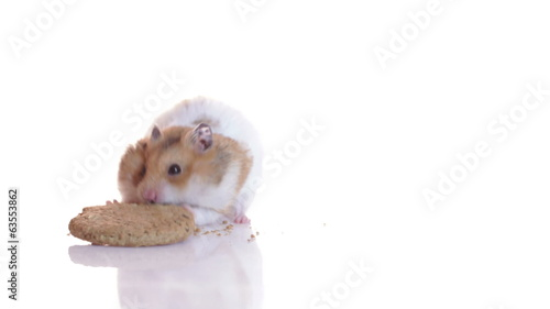 Hungry hamster and cookie