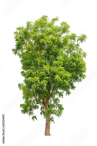 Neem plant (Azadirachta indica), tropical tree in Thailand