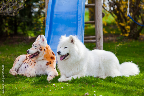 samoyed  dog repainted on leopard and tiger.  groomed dog. pet g
