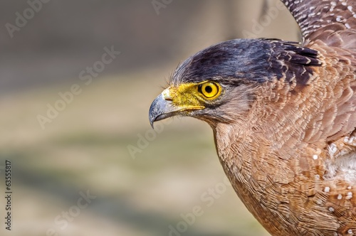 Pportrait of a Golden Eagle  Aquila chrysaetos