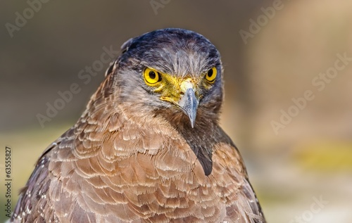 Close up portrait of a captive Golden Eagle  Aquila chrysaetos