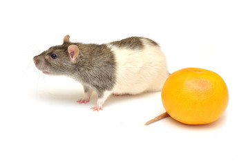 Nice rat and big orange