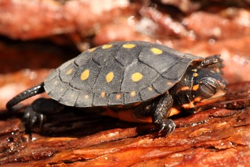 Baby Spotted Turtle (clemmys guttata)