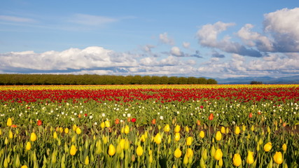 Tulip Farm Spring in Oregon Clouds and Sky Time Lapse