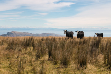 three black cows