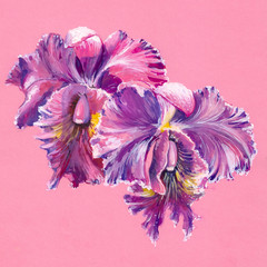 Purple orchid isolated on pink background.Watercolors