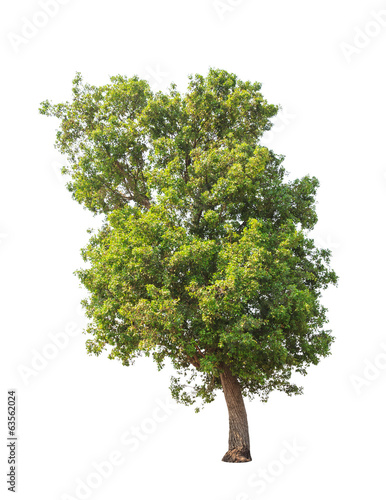 Tembusu (Fagraea fragrans) tree isolated on white