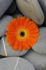 Orange gerbera flower on pebbles