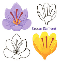 saffron flowers. contours of flowers on a white background.