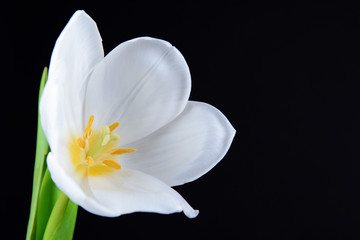 Beautiful white tulip isolated on black