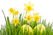 Yellow Flowers and easter eggs. Daffodil flower or narcissus ove
