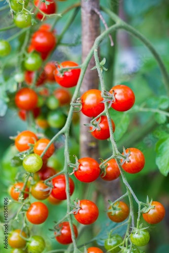 Branch of red and green tomatoes