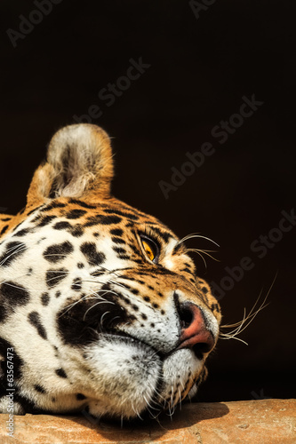Closeup portrait of jaguar or Panthera onca
