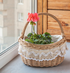 Basket with pink pelargonium (geraniums) in the window