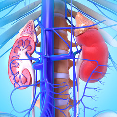 3d anatomy of kidney cross section