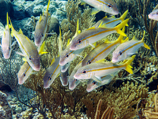 Ocyurus chrysurus, the yellowtail snapper