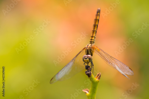 Dragonfly on a stem extreme close up