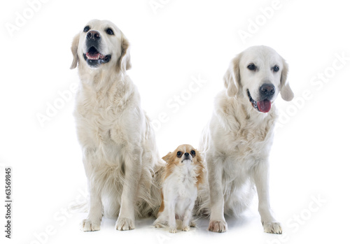 golden retriever and chihuahua
