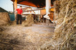 Farmer feeding cows in barn using hay fork