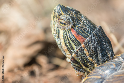 Common Pond Turtle Portrait Closeup