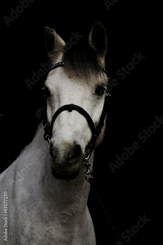 portrait of a racehorse