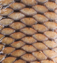 Carp fish scales.