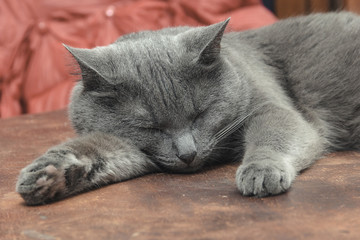 Grey cat sleeping on the table