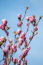 Magnolia Floraison