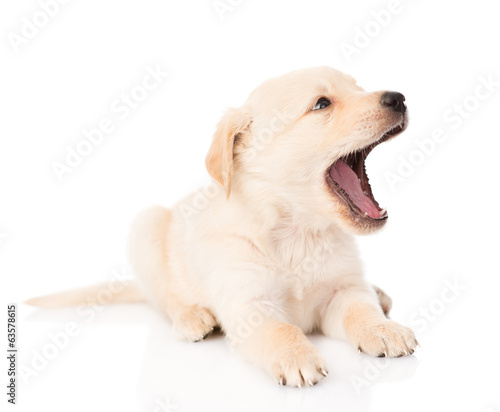 yawning golden retriever puppy dog. isolated on white background