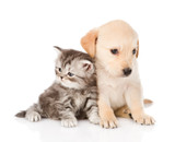 golden retriever puppy dog and tabby cat sitting together - 63578875
