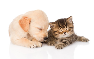 golden retriever puppy dog and british cat sleeping together.